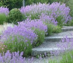 Gorgeous along the walkway. WOW !! Lavender was always part of my Mom and Grandma's garden...and scented their pillows, drawers and closets.