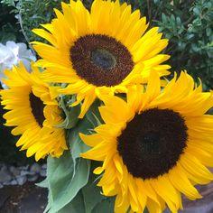 Sonnenblumen bewundern