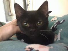Sigourney is an adoptable Domestic Short Hair-Black Cat in Atco, NJ. Sweetest cat you will find...very gentle. Gorgeous jet black, shiny coat. Sigourney gets along with everyone she meets. When Sigou...
