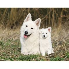 White Swiss Shepherd. (Berger Blanc Suisse)