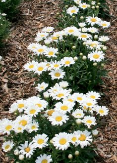 Never too many daisy plants (1) From: Mississippi State University Cares, please visit