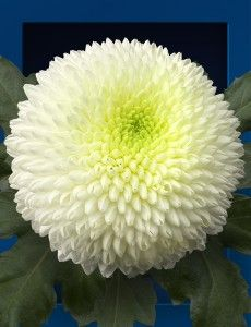 Here you will find the assortment chrysanthemums of Dekker Chrysanten. Amazing Flowers, Love Flowers, My Flower, White Mums, Unique Presents, Colorful Garden, Aster, Trees To Plant, Backyard Landscaping