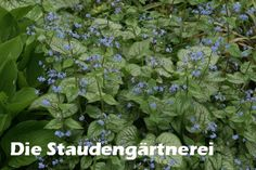 Brunnera macrophylla 'Jack Frost', 5,00 €, höhe 30, Trockener Schatten