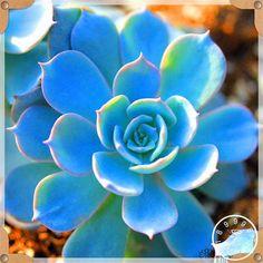 Big 99 Kinds to choose Lithops Seeds Succulents Seeds Pseudotruncatella Office Bonsai Flower Seeds, Orchid Seeds, Cactus Seeds, Succulent Seeds, Bonsai Seeds, Tree Seeds, Bonsai Plants, Cacti And Succulents, Planting Succulents, Planting Flowers