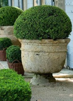 Boxwood potted in neutral toned urns .. Aldgate Home