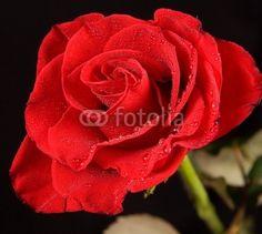 rosa © morgan capasso