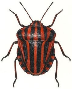 Hemiptera - a true bug. family Pentatomidae. Graphosoma lineatum. This is an illustration, not a photo.