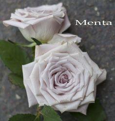 Menta Rose - silver rose