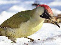 Atlas ptáků: zvonohlík, zvonek a křivka s podivuhodným zobákem Bird, Animals, Animales, Animaux, Birds, Animal, Birdwatching, Animais