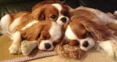 Cavalier King Charles Spaniel Not sure if I have this pin if I do its certainly worth pinning twice three of the most precious faces I have ever seen together!  Love them!
