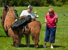 A Llama With Your Golf? – Travel Photographer Richard Ellis - Charleston & The World Golf Humor, Funny Golf, Dont Drink And Drive, Putt Putt, Bunker, Travel Photographer, Charleston, Paradise, Animals