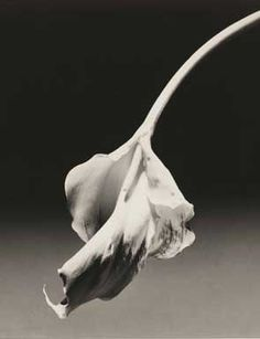 Calla Lily, Gelatin silver print, x cm. New York, Solomon R. Guggenheim Museum, Don de la Fondation Robert Mapplethorpe © Robert Mapplethorpe Foundation. Used by permission. Robert Frank, Flower Images, Flower Photos, Land Art, Black And White Portraits, Black And White Photography, Robert Mapplethorpe Photography, Michael Cunningham, Still Life Images
