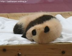 https://flic.kr/p/Pv7bdQ | Panda cub | at  Adventure world, Wakayama, Japan
