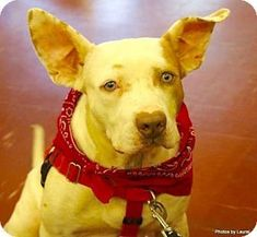 New York NY - Pit Bull Terrier Mix. Meet Stella a dog for adoption.