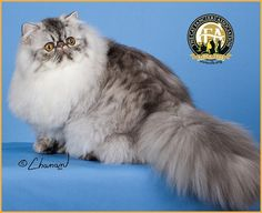 14th BEST CAT GC, BW, NW JOLEIGH JIMMY CHOO Silver McTabby Persian