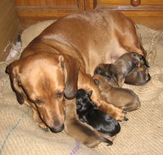 Whelping Dachshund Feeding Puppy First Day Mother Pups , Dog images, dog animations, dog quotes, dog training tips, funny dogs, dog and cat, dog and pet, cute dog and baby
