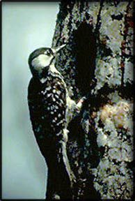 **Species Profile for endangered Red-Cockaded woodpecker (Picoides borealis)
