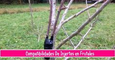 Compatibilidades de injertos entre frutales. ¡Qué interesante y útil!
