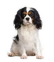 How to Bathe and Groom a Cavalier King Charles Spaniel thumbnail