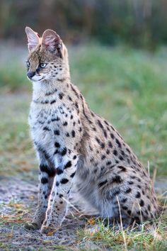 African Serval Wild Cat - Botswana