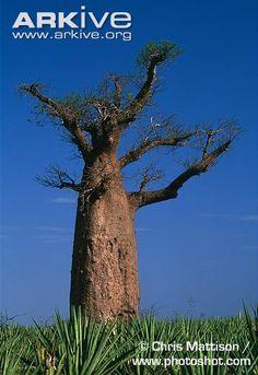 Adansonia za, mature tree