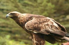 A huge bird of prey, with only the white-tailed eagle larger in the UK. With its long broad wings and longish tail, it has a different outline to the smaller buzzard. Raptor Bird Of Prey, Birds Of Prey, Eagle Background, Nordic Names, Rapace Diurne, White Tailed Eagle, Light Golden Brown, Dark Brown, National Animal