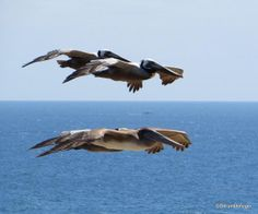 Crystal Cove State Park. Pelicans gliding by in formation