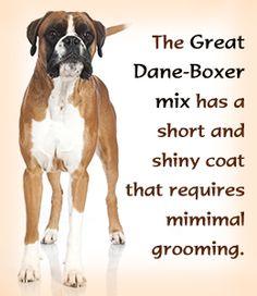 Great Dane-Boxer mix breed traits