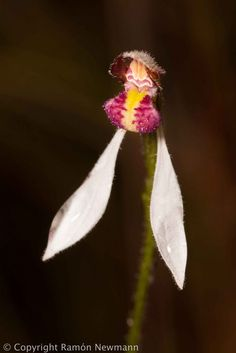 Red-lipped-Bunny Orchid: Eriochilus valens - Flickr - Photo Sharing!
