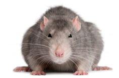 Get Rid of Rats Through Pest Control