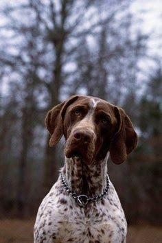 Temperament and Personality of German Shorthaired Pointer.Click the picture to read