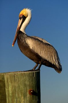 Our state bird, the pelican can be found near the gulf waters or nesting in trees all around the city!