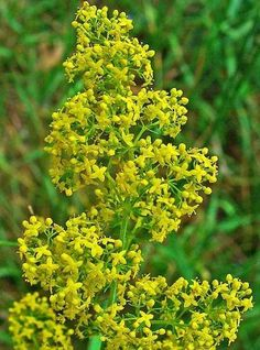 Buy Lady's Bedstraw Plants online from Landlife Wildflowers, the wildflower experts. We grow and supply British native wildflower species online including Lady's Bedstraw Plants (Galium verum) Seeds. Create beautiful wildflower areas and help bees, butter Herbaceous Perennials, Flowers Perennials, Doterra, Yellow Flowers, Wild Flowers, Peony Support, Seeds Online, Dry Plants, Sandy Soil