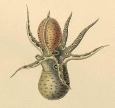 Mollusca, octopus, illustration, natural history, engraving, cthulu