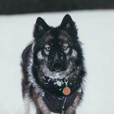 Husky Malamute, Agouti Husky, Siberian Husky Puppies, Husky Puppy, Siberian Huskies, Wolf Dog Puppy, White Siberian Husky, Sweet Dogs, Cute Baby Dogs