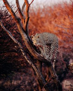 Cats will be cats. A leopard in a tree in Namibia. Jaguar, Visit Chile, Travel Captions, Photo Caption, Things To Do Alone, Travelling Tips, South America Travel, Travel Aesthetic, Nature Animals