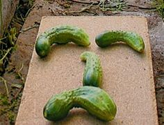 Типичные проблемы выращивания огурцов
