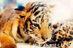 a baby tiger :3