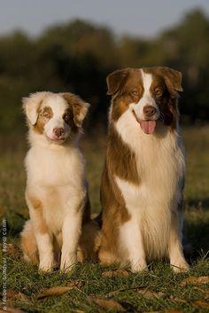 Australian Shepherds.