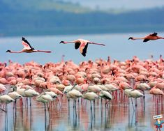 Lake Nakuru, Kenya~ A visit to this lake is highly recommended, if only to see flocks of flamingos dip their curved beaks into the alkaline water to extract algae, found in abundance in this unique water outback. Parc National, National Parks, Valle Del Rift, Wild At Heart, Ria Formosa, Rift Valley, Pink Lake, Tanzania Safari, Mundo Animal