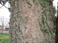Résultats de recherche d'images pour «micocoulier arbre» Images, Plants, Search, Plant, Planets