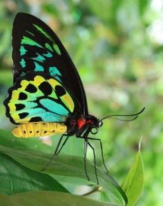 Swallowtail Butterflies - Papilionidae Family