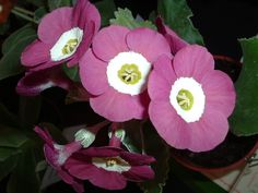 Show self auricula Any other colour Eaton Dawn Garden Plants, Indoor Plants, Primula Auricula, Ornamental Cabbage, Primroses, Floral Paintings, Rare Flowers, Flower Beds, Hibiscus