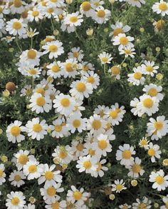 "Though a symbol of rest and relaxation today (mmm, chamomile tea), this flower signified ""energy in adversity"" in the 19th century.   - HouseBeautiful.com"