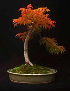 Shishigashira-Japanese-Maple-Bonsai.jpg (500×655)