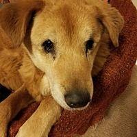 Washburn, Missouri - Labrador Retriever. Meet Trixie, a for adoption. https://www.adoptapet.com/pet/20838441-washburn-missouri-labrador-retriever-mix