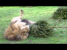 One zoo takes your old tree and lets African lions play with it.