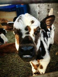 Baby Farm Animals, Baby Cows, Cute Little Animals, Cute Funny Animals, Animals And Pets, Cow Pictures, Animal Pictures, Pet Cows, Miniature Cows