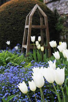 White tulips - blue backdrop (bluebells would work in a walnut tree garden)