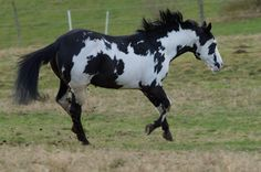 Paint Horse stallion Colonel Coosader